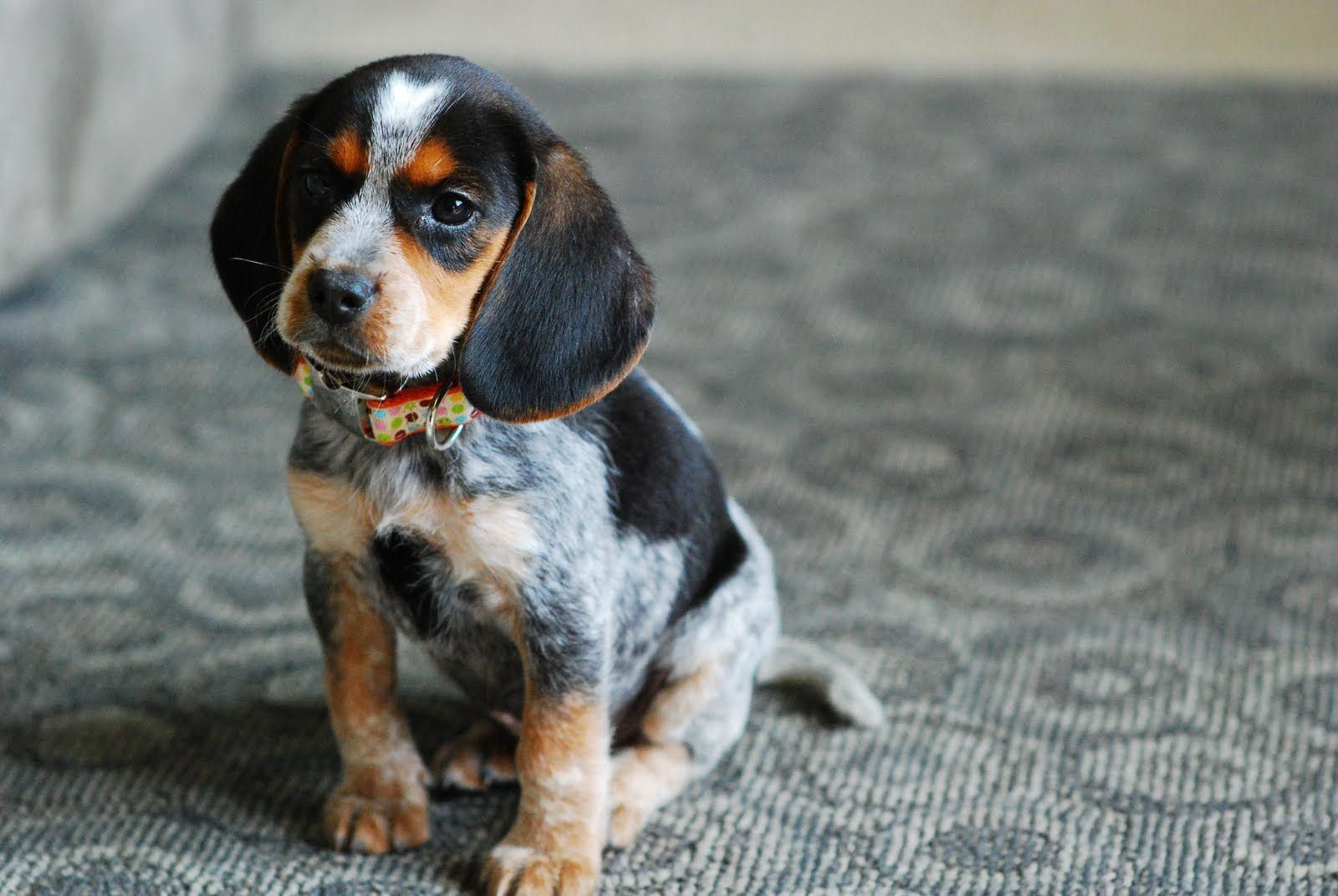 Layla A Cute Bluetick Beagle Puppy Beaglepuppies Hound Puppies