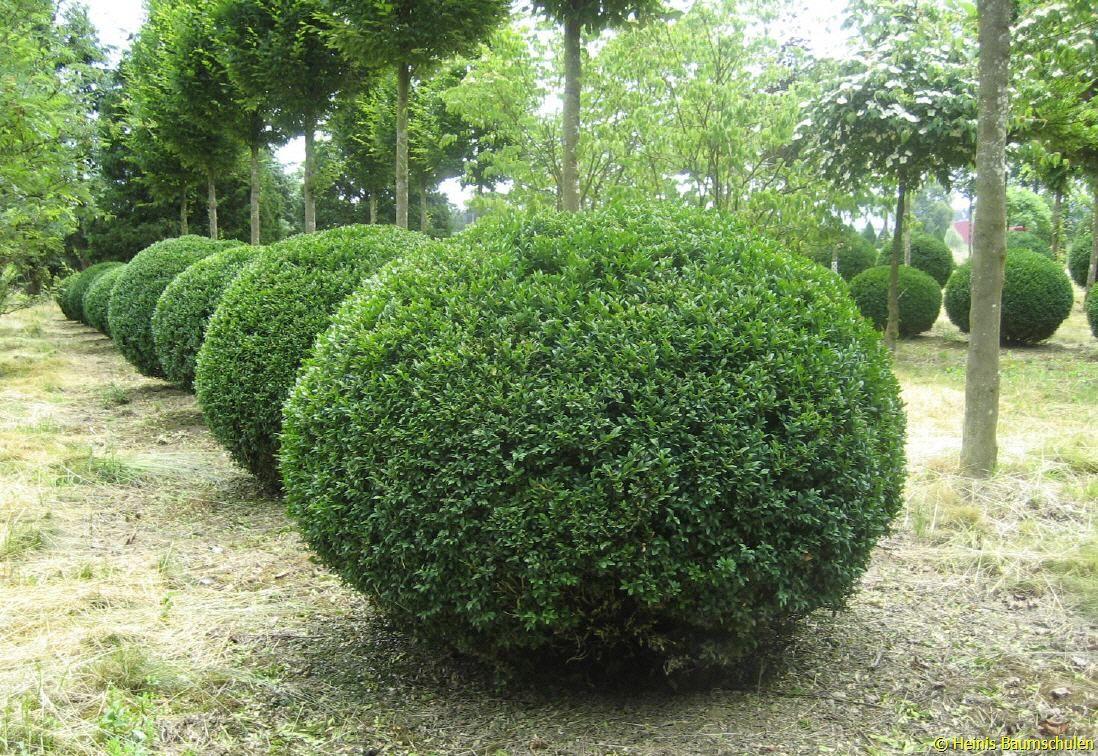 buxus sempervirens rotundifolia tuin pinterest. Black Bedroom Furniture Sets. Home Design Ideas