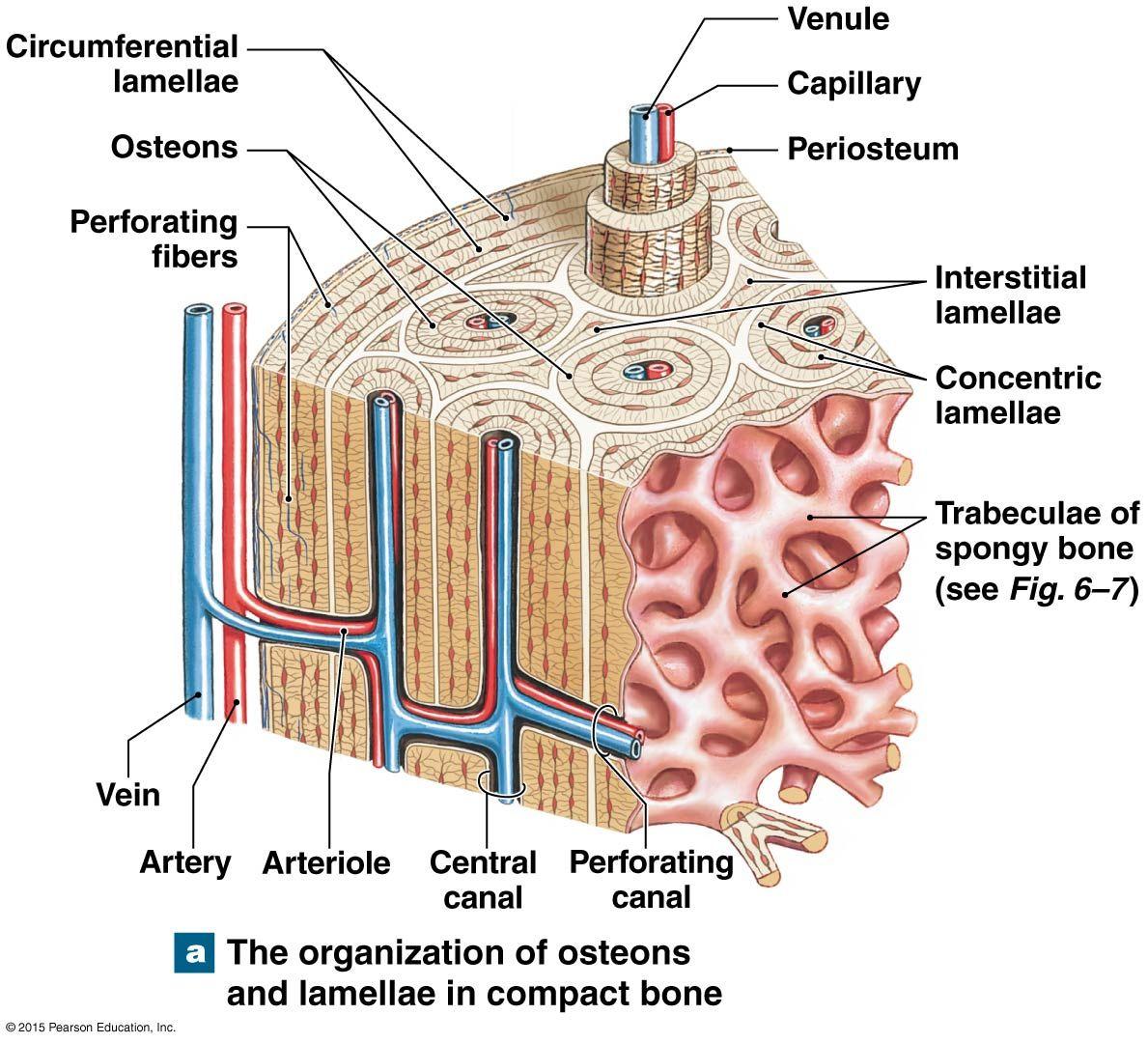 medium resolution of spongy bone containg red bone marrow