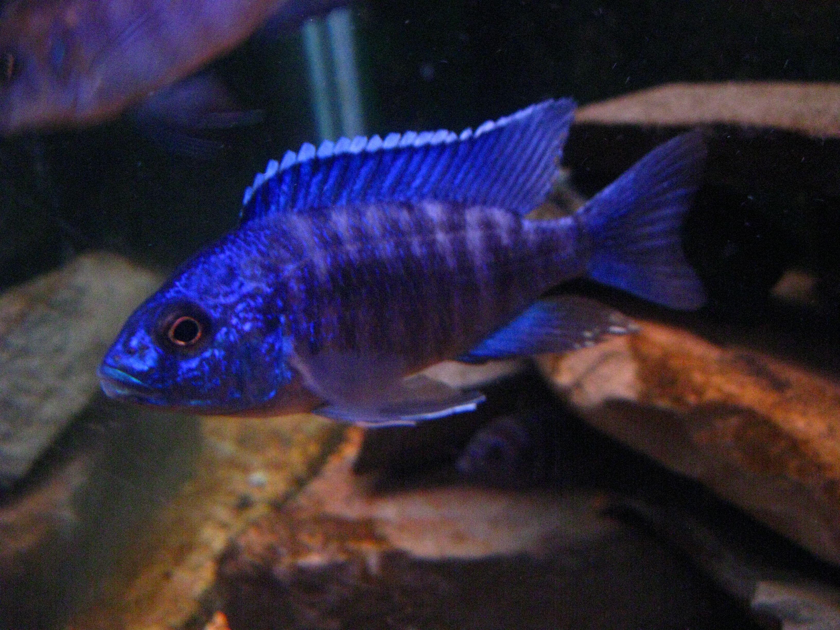 Cichlids Com Blue Regal Peacock Cichlid Fish Cichlids African Cichlids