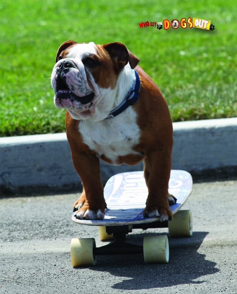 3 Tillman A Skateboarding Surfing And Snowboarding Bulldog Recognized As The Most Popular Dog In The United States Ventures Wi Popular Dog Pooch
