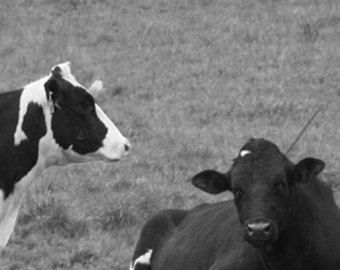 Holsteins in Black and White 4x6 Metallic Print