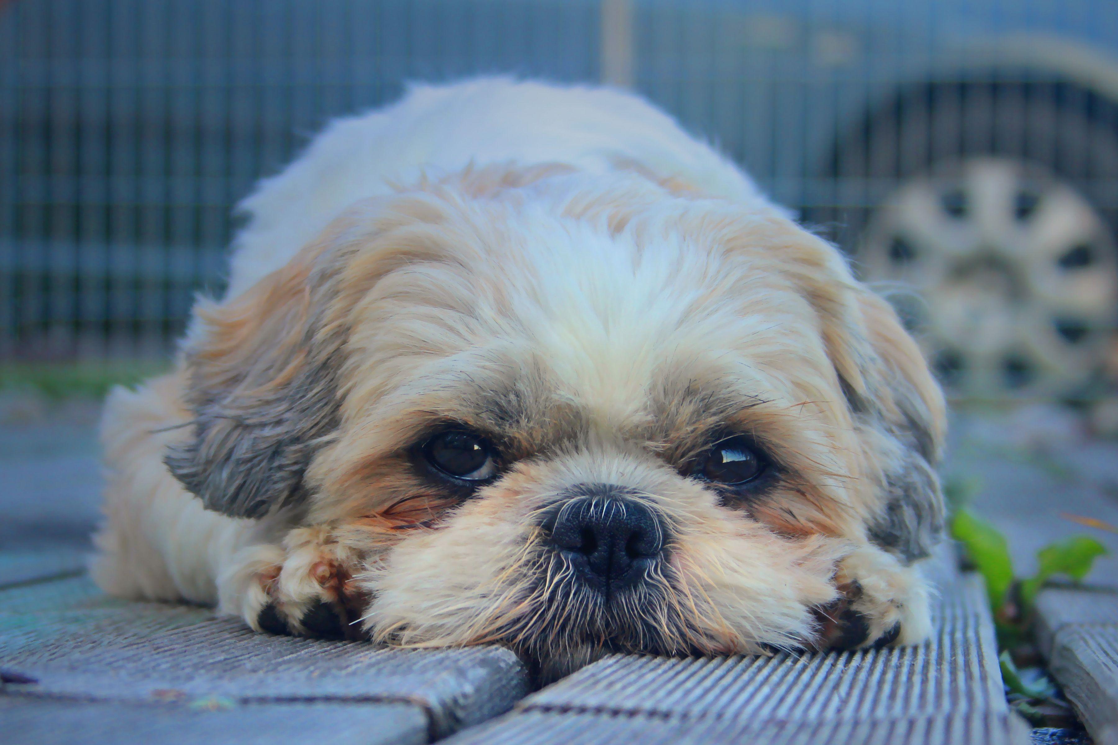 Animal Wallpaper Background Shih Tzu Dog Muzzle