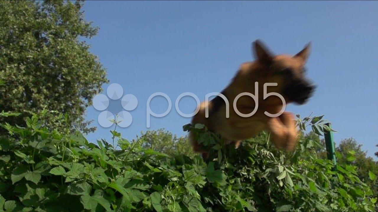German Shepherd Jumping Over A Bush Slow Motion 1 Stock Footage Jumping Bush German Shepherd German Shepherd Art Logo Service Dogs