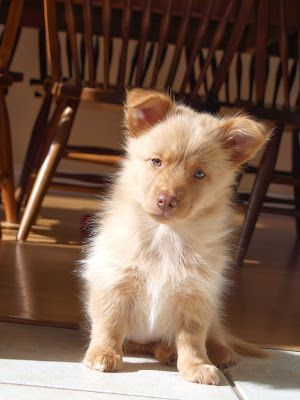 Corgi Cross Duck Tolling Retriever Puppy Mixed Breed Dogs Lap Dogs Puppies