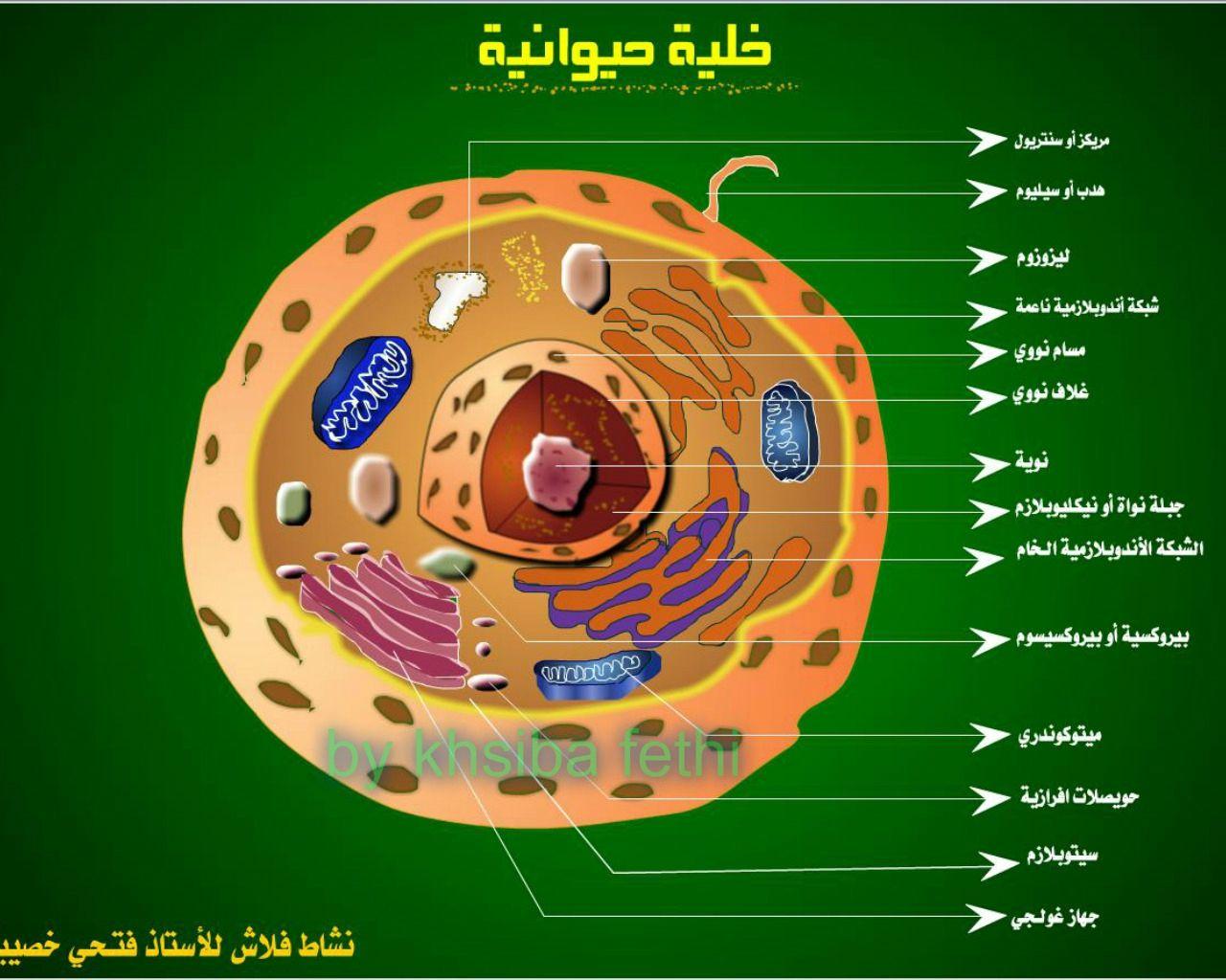 الخلية الحيوانية Anatomie Et Biologie En Flash Cellule Animale Biologie Anatomie