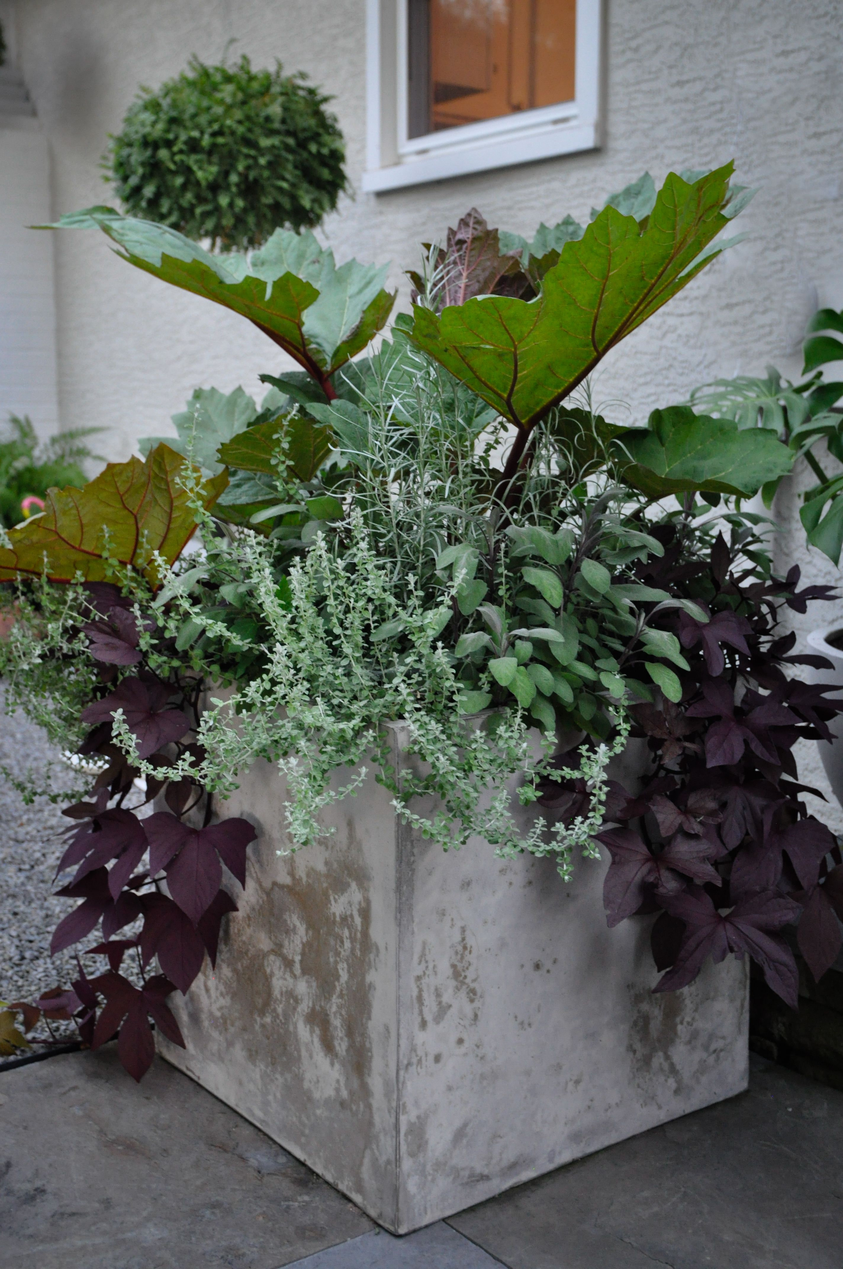 Summer Planter Rheum Helichrysum Ipomea Salvia At The Home Of Landscape Designer Nick Mccullough Garden