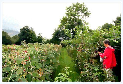 arbustos de frambuesas Photos