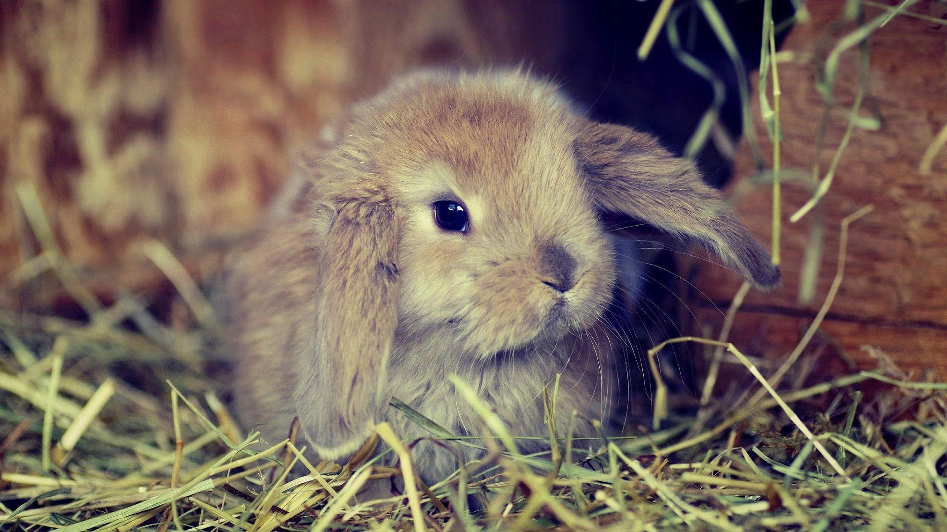1920x1080 Cute fluffy bunny Wallpaper Fluffy bunny