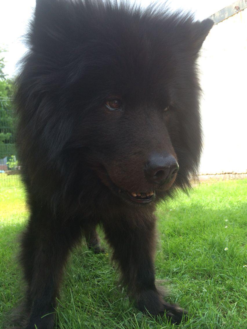 Asko Der Beste Hund Eurasier Hunde Und Eurasier