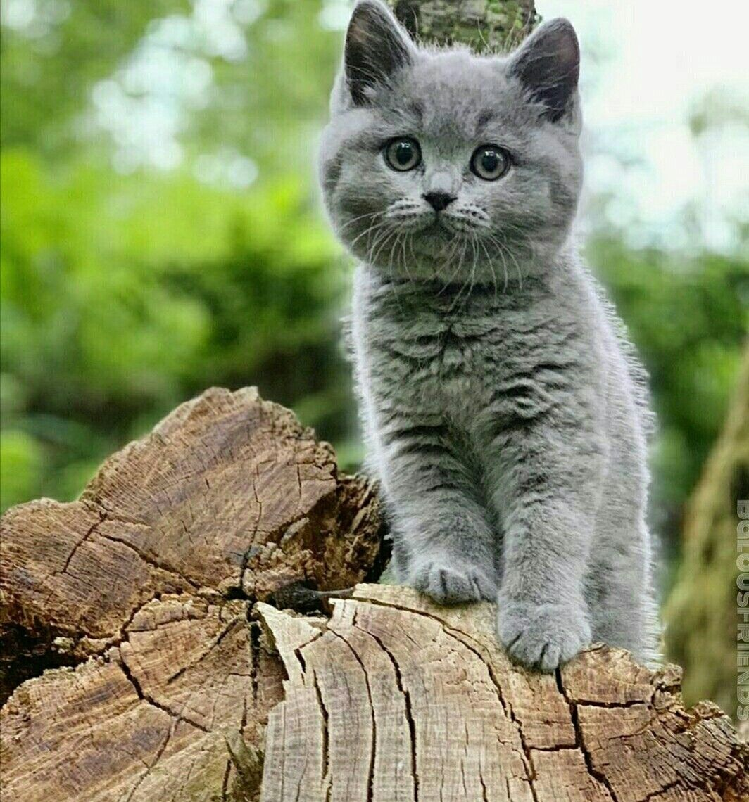 Pin by Regan Coday on Familiars Cats, Outlander, Kittens