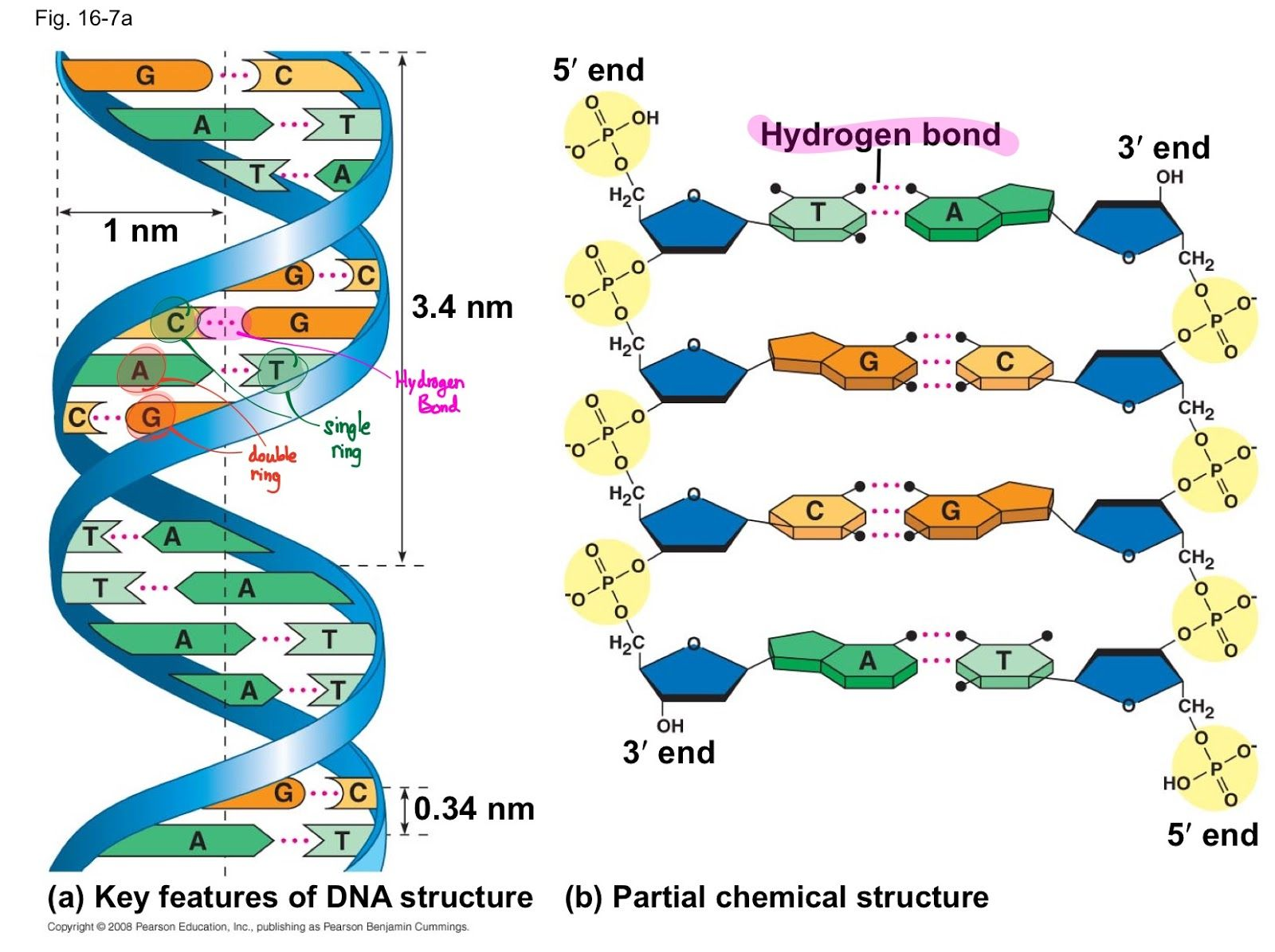 DNA structure | Dna, Dna model project, Biology notes