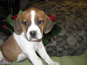 Love The Markings On This Puggle Puggle Baby Beagle