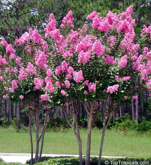 Flowering Shrubs And Trees Crape Myrtle Crepe Myrtle Lagerstroemia Indica Photo Cultivation And Maintenance Planti Lagerstroemia Myrtle Tree Flowering Trees