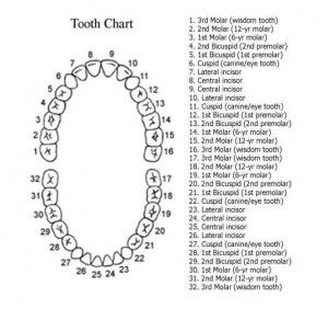 Adult tooth diagram complete wiring diagrams adult tooth chart with numbers dental pinterest tooth chart rh pinterest com adult teeth diagram with numbers adult teeth diagram with numbers ccuart Image collections