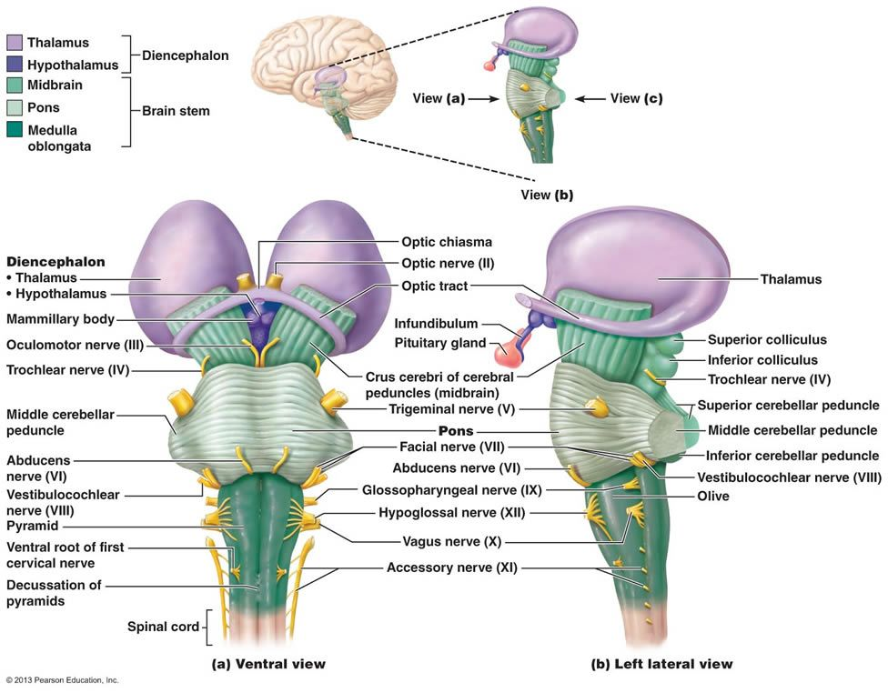 Pin on Central Nervous System