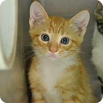 Adopt Cute Kitten 10311388 A Domestic Shorthair In Brooksville Fl Who Needs A Loving Home Urgently Or This Cute Kitty Wi Kitten Adoption Pet Adoption