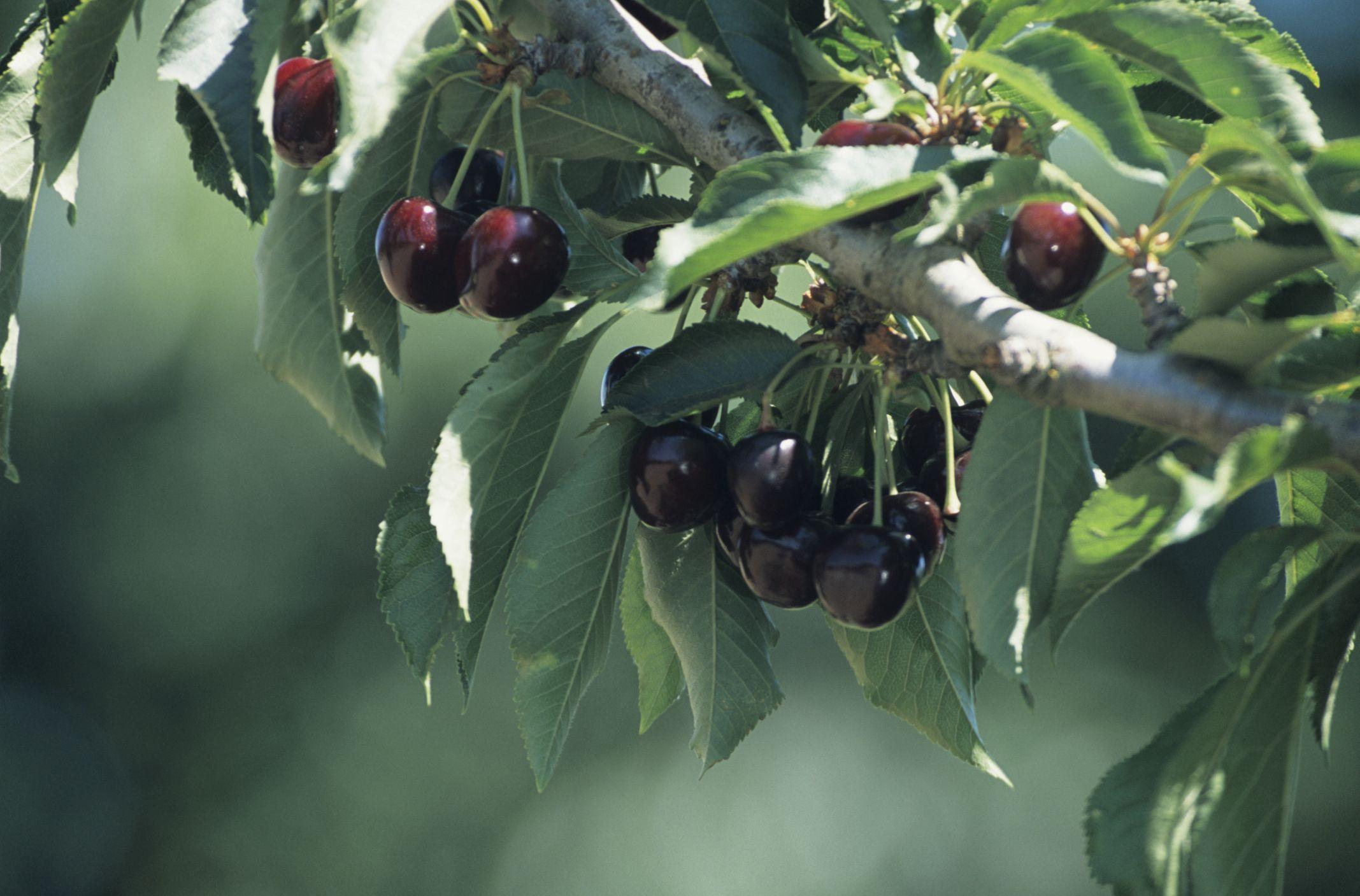 Fruit trees that grow well in minnesota minnesota cherry tree and