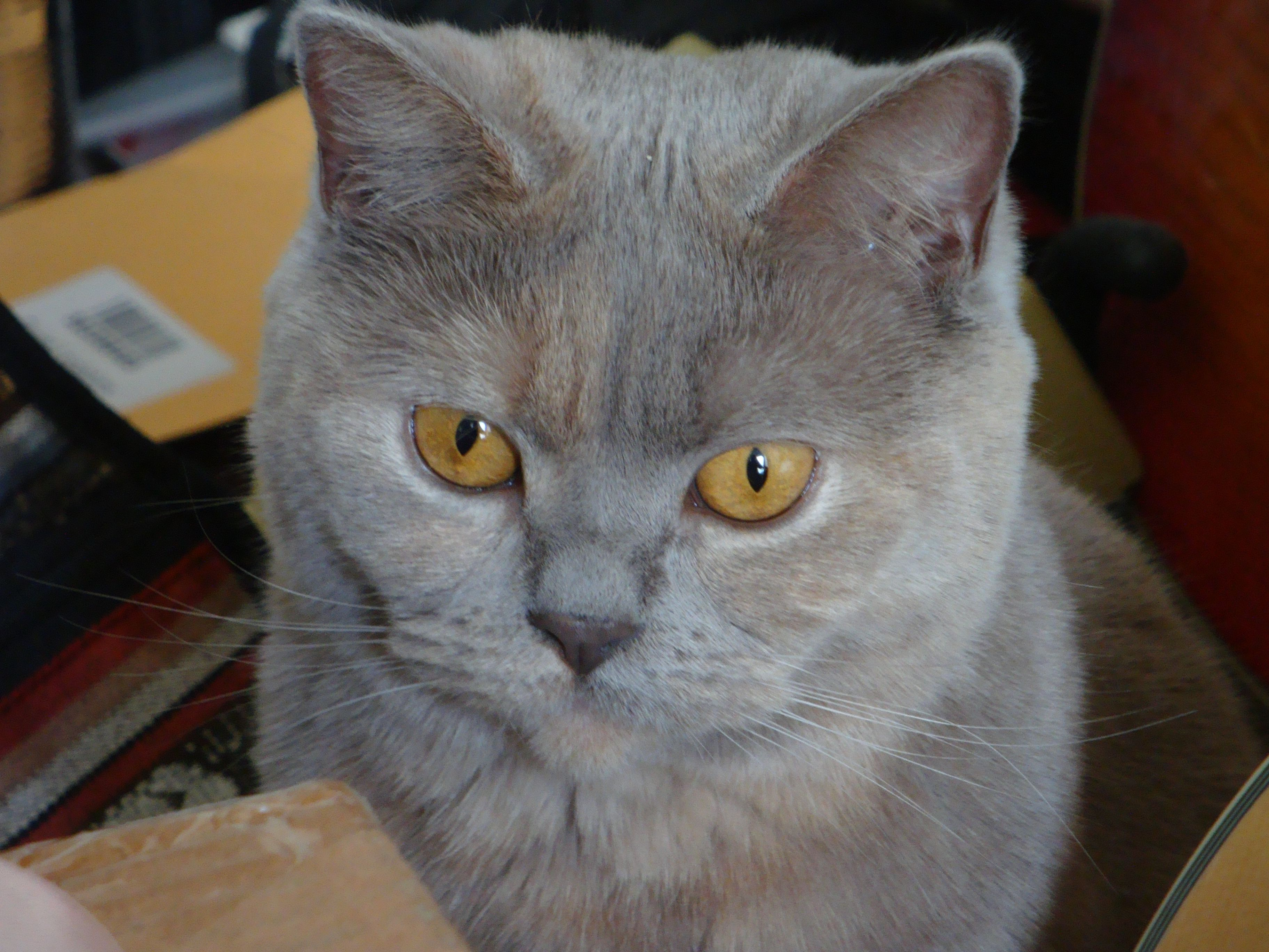 lilac and cream british shorthair cat Cats, British