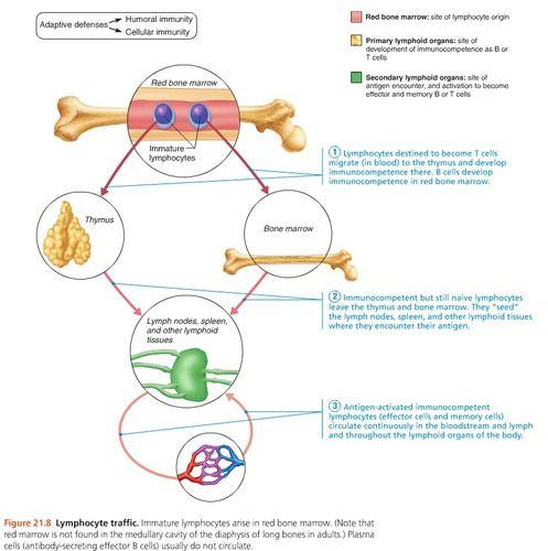 Ap final chapter immune system flashcards quizlet also human rh pinterest