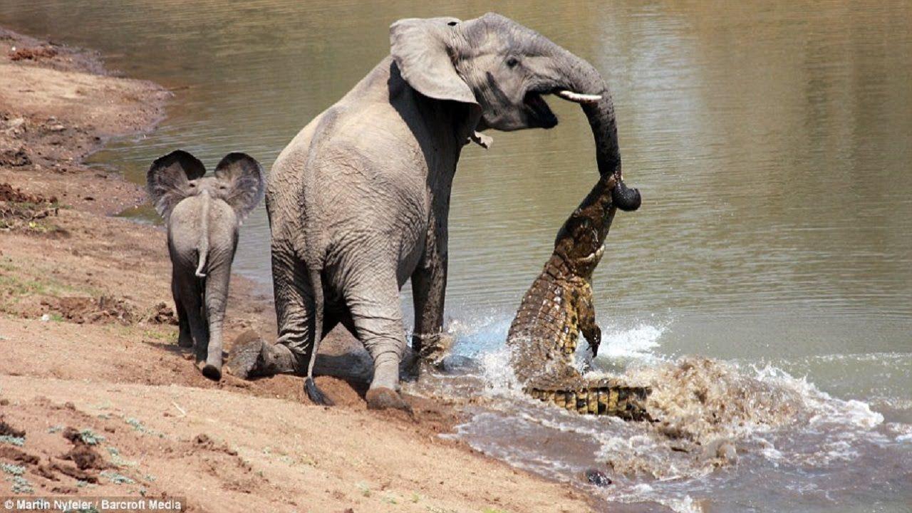 crocodile vs elephant fight video | elephant vs crocodile 2016