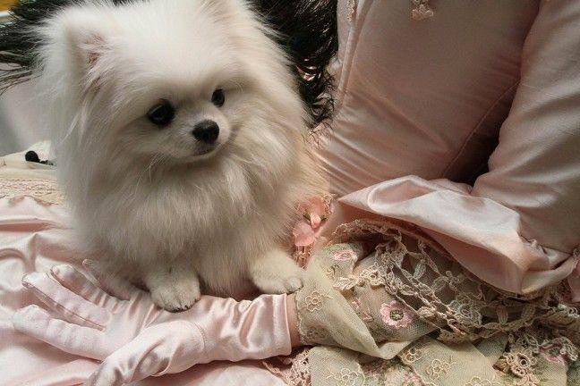 Little Cute White Pomeranian