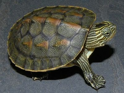 Chinese Golden Thread Turtle Ocadia Sinensis With Images
