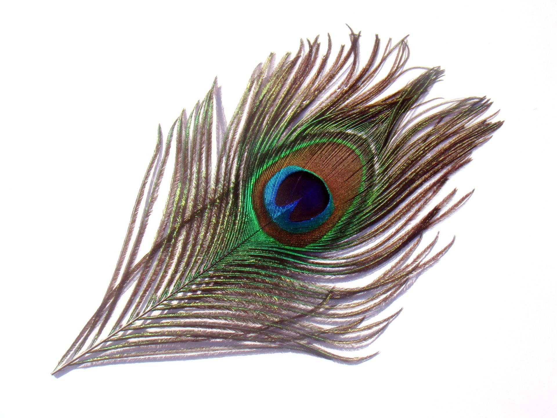 1 plume de paon naturelle 14 cm de longueur environ paon pinterest plumes de paon paon et. Black Bedroom Furniture Sets. Home Design Ideas