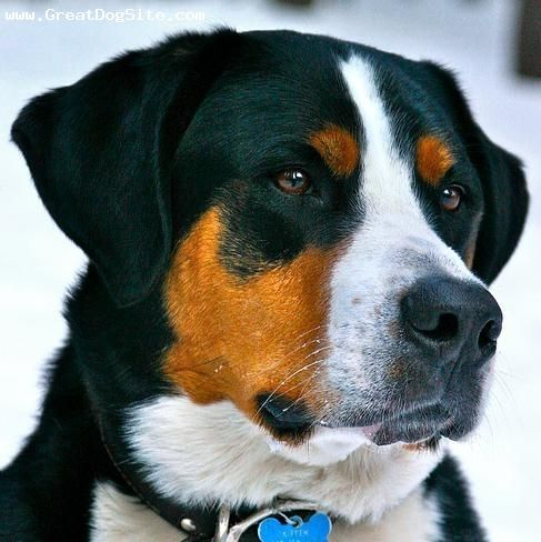 Greater Swiss Mountain Dog With Images Swiss Mountain Dogs Dogs Greater Swiss Mountain Dog