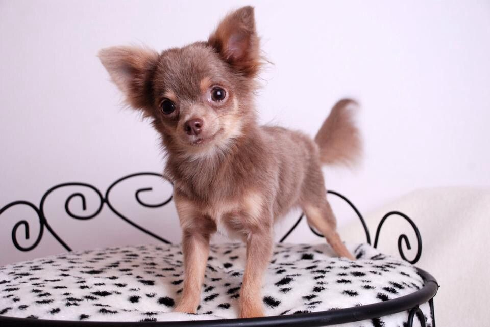 6 Different Types Of Chihuahua Dogs Coats And Head Shapes Cute