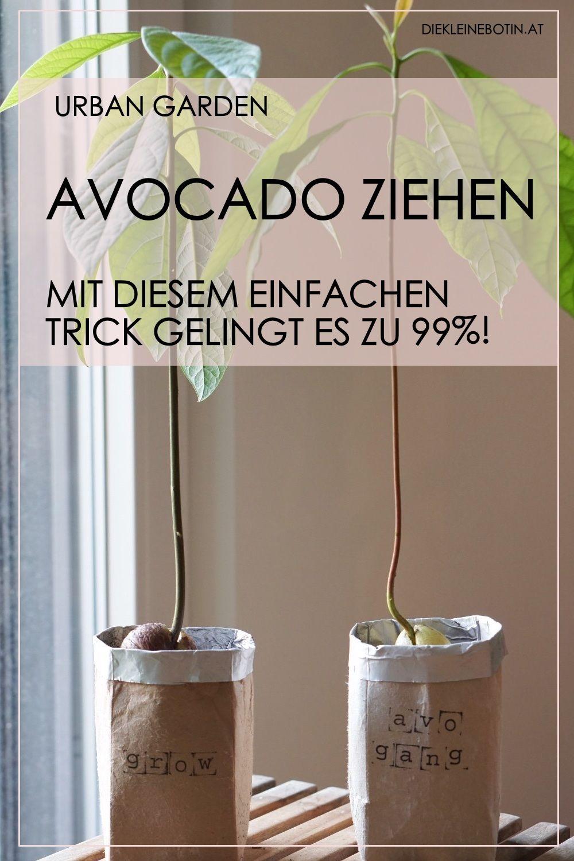 Avocado ziehen – so gelingt es immer!