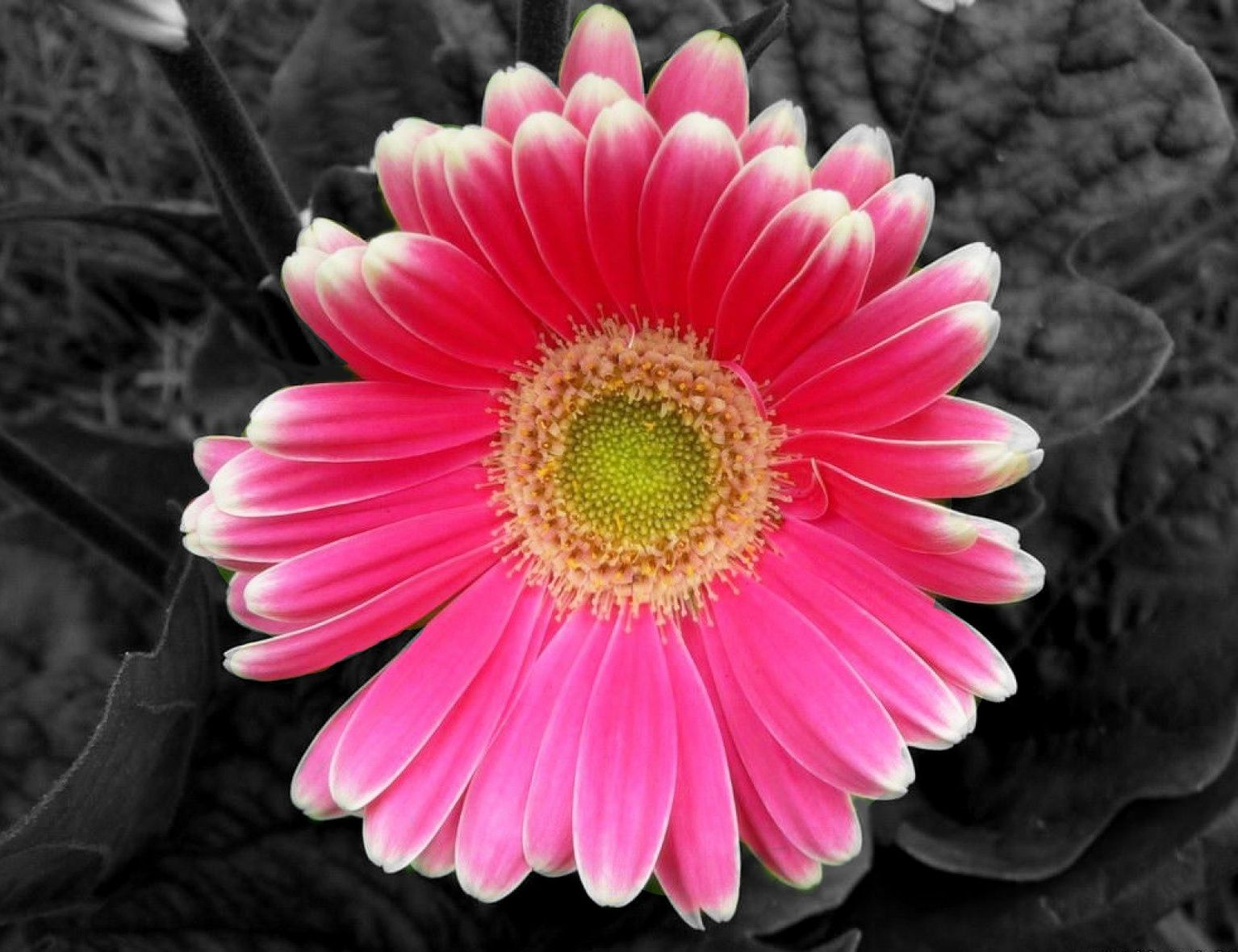 Flower black and white with color picture black white with a flower black and white with color picture dhlflorist Choice Image