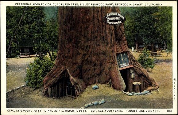 Postcard Redwood City Kalifornien, Fraternal Monarch or Quadruped Tree, Baumhaus