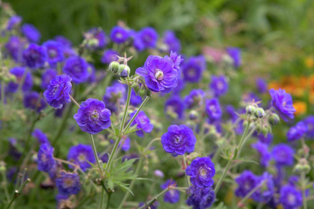 wiesen storchschnabel 39 plenum violaceum 39 geranium pratense 39 plenum violaceum 39 pflanzen. Black Bedroom Furniture Sets. Home Design Ideas