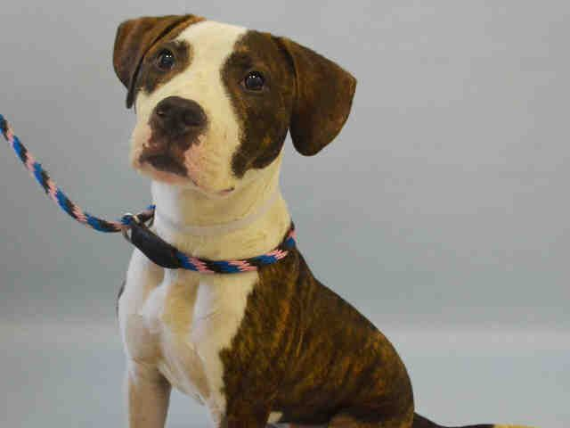 **SICK** - TO BE DESTROYED - 08/05/16 - **PUPPY ALERT** - CAESAR - #A1082499 - Urgent Manhattan - MALE BR BRINDLE/WHITE AM PIT BULL TER/AMER BULLDOG, 7 Mos - OWNER SUR - EVALUATE, NO HOLD Reason NO TIME - Intake 07/24/16 Due Out 07/24/16 - 08/01 CIRDC, DIARRHEA, DOXY, FLAGYL, MOVE TO ISO
