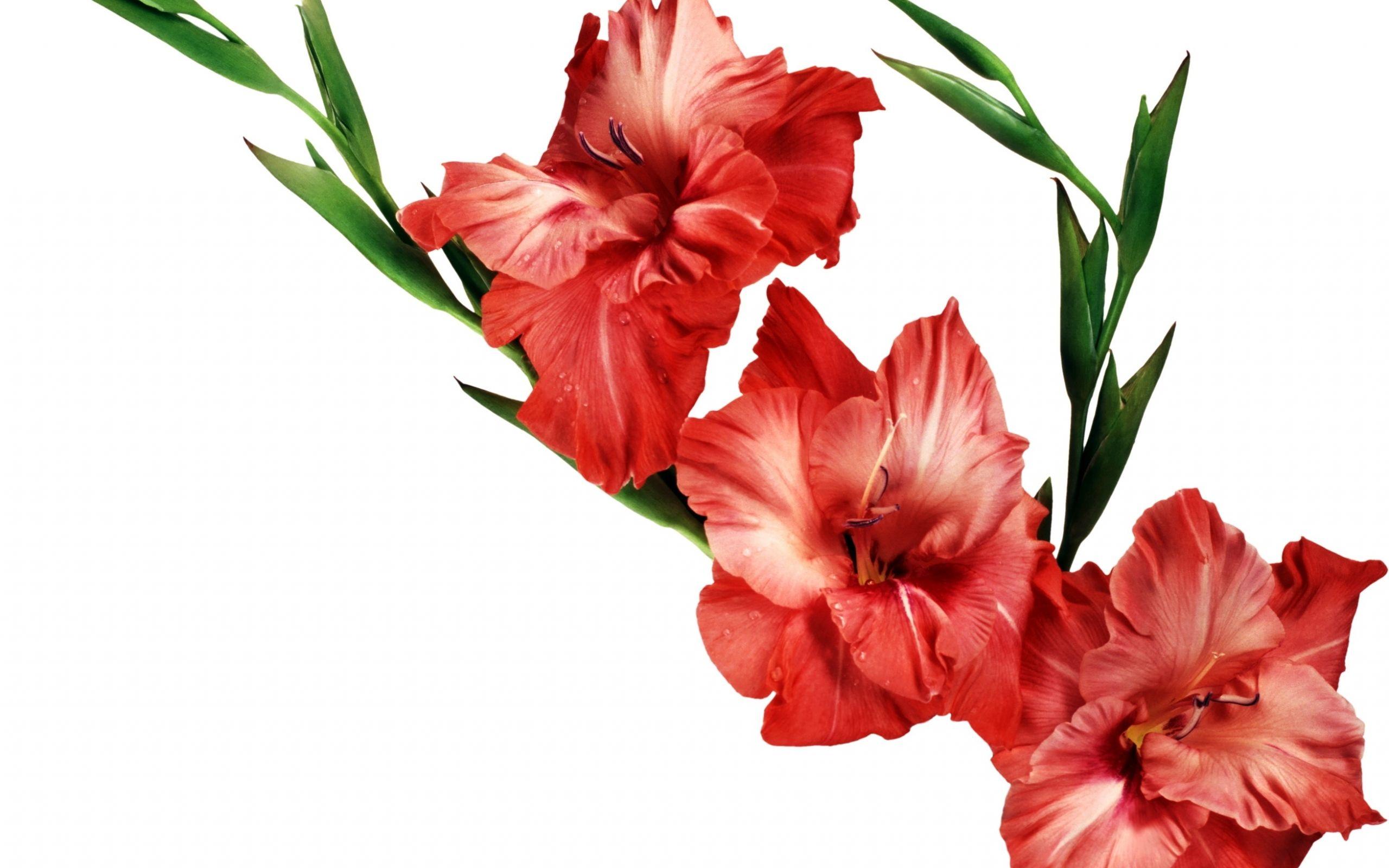 Wallpaper 2560x1600 gladiolus, flower, red, leaves