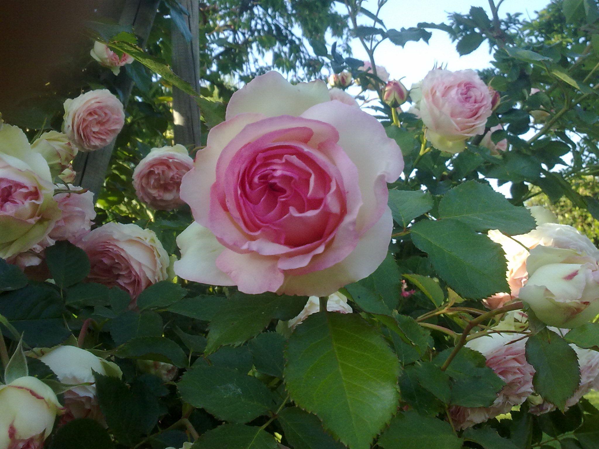 Pierre De Ronsard Meilland Rose Rose Plants Flowers
