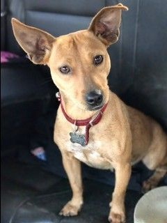 Chiweenie Dog For Adoption In Visalia Ca Adn 468370 On