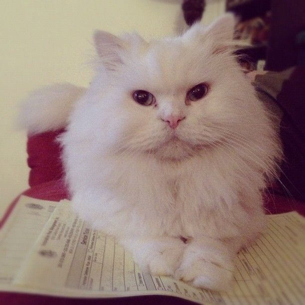 """""""Sampson"""" -- a Persian I gave my brother... #becauseIlovedogs"""
