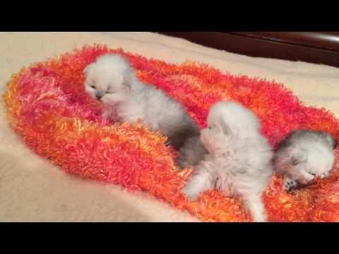 Meimei's Persian kittens - 3 weeks old - YouTube