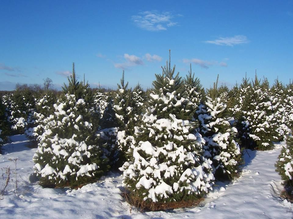 Bustard's Christmas Trees In Lansdale, Pa., Is The