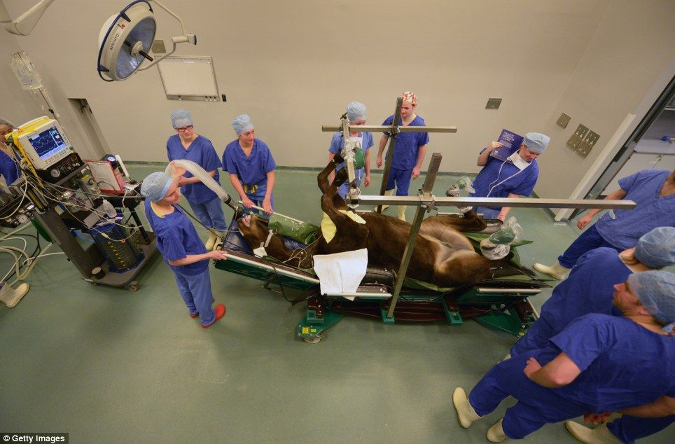 Karma The Thoroughbred Undergoes Tendon Surgery Veterinary Medicine Horse Care Vet Clinics