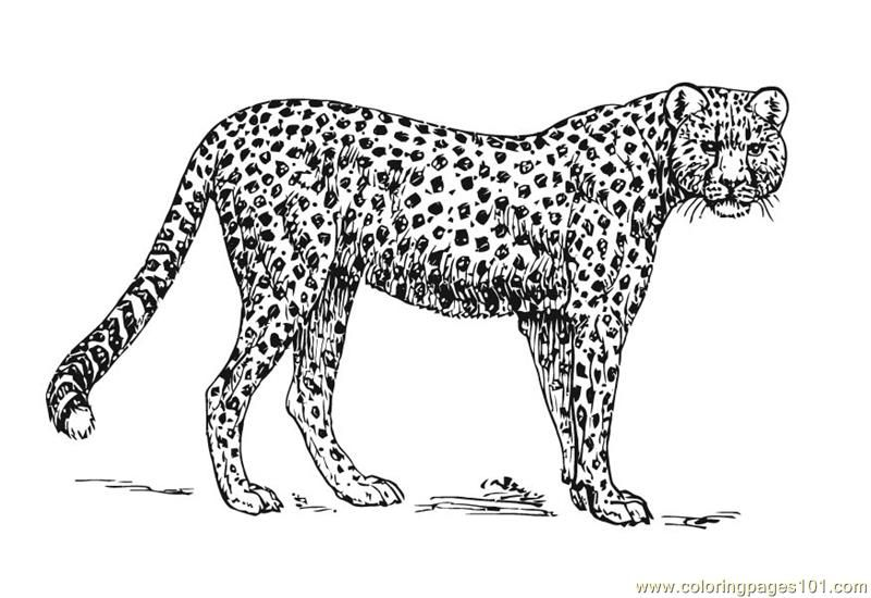 Cheetah Pictures To Color Free Printable Coloring Page Cheetah