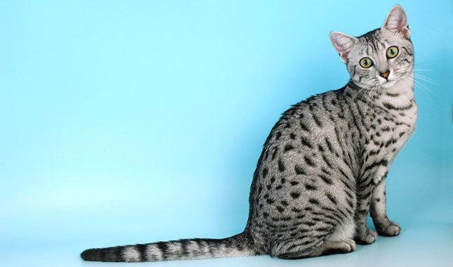 Egyptian Mau Egyptian Mau Cat Breeds Norwegian Forest Cat Breeders