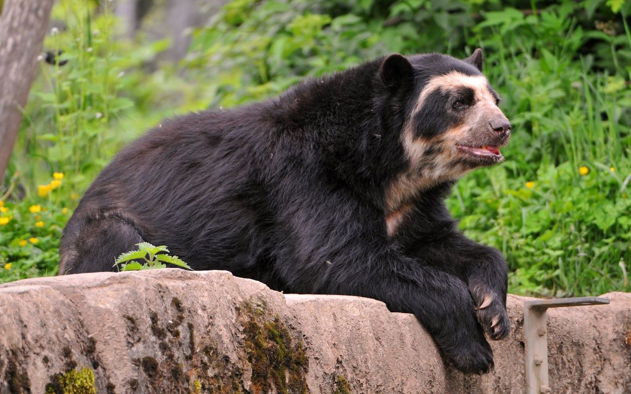 Spectacled Bear Spectacled Bear This Relatively Small Bear