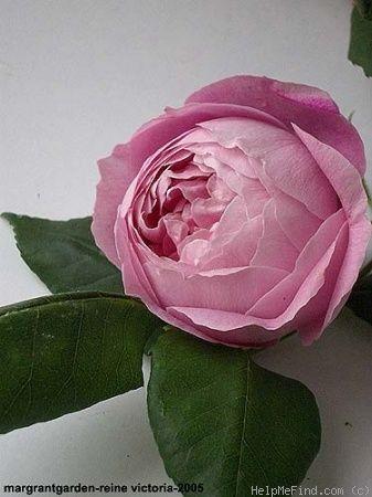'Reine Victoria ' Rose Photo