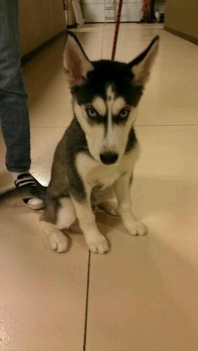 Bosco Looking Like An Evil Husky Puppy Husky Puppy Husky