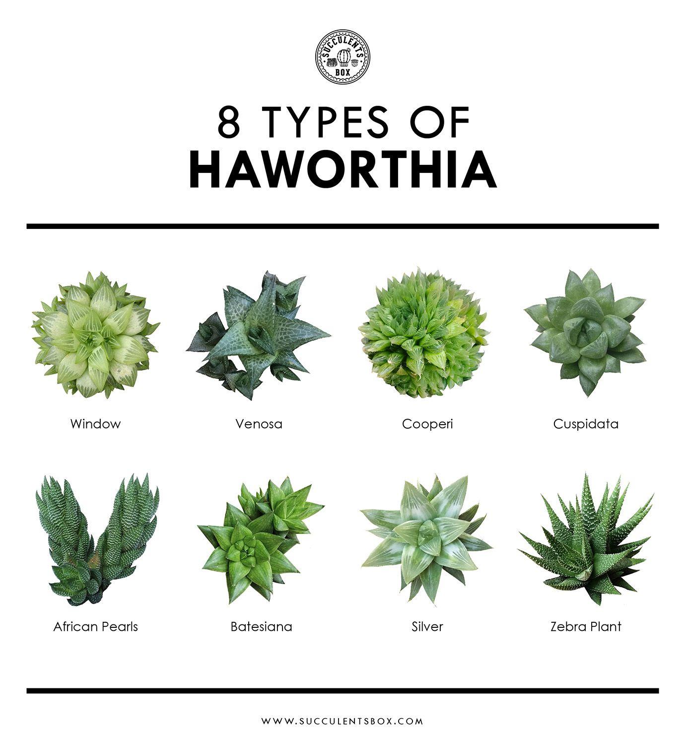 8 Popular Types Of Haworthia Plants Types Of Succulents Succulents
