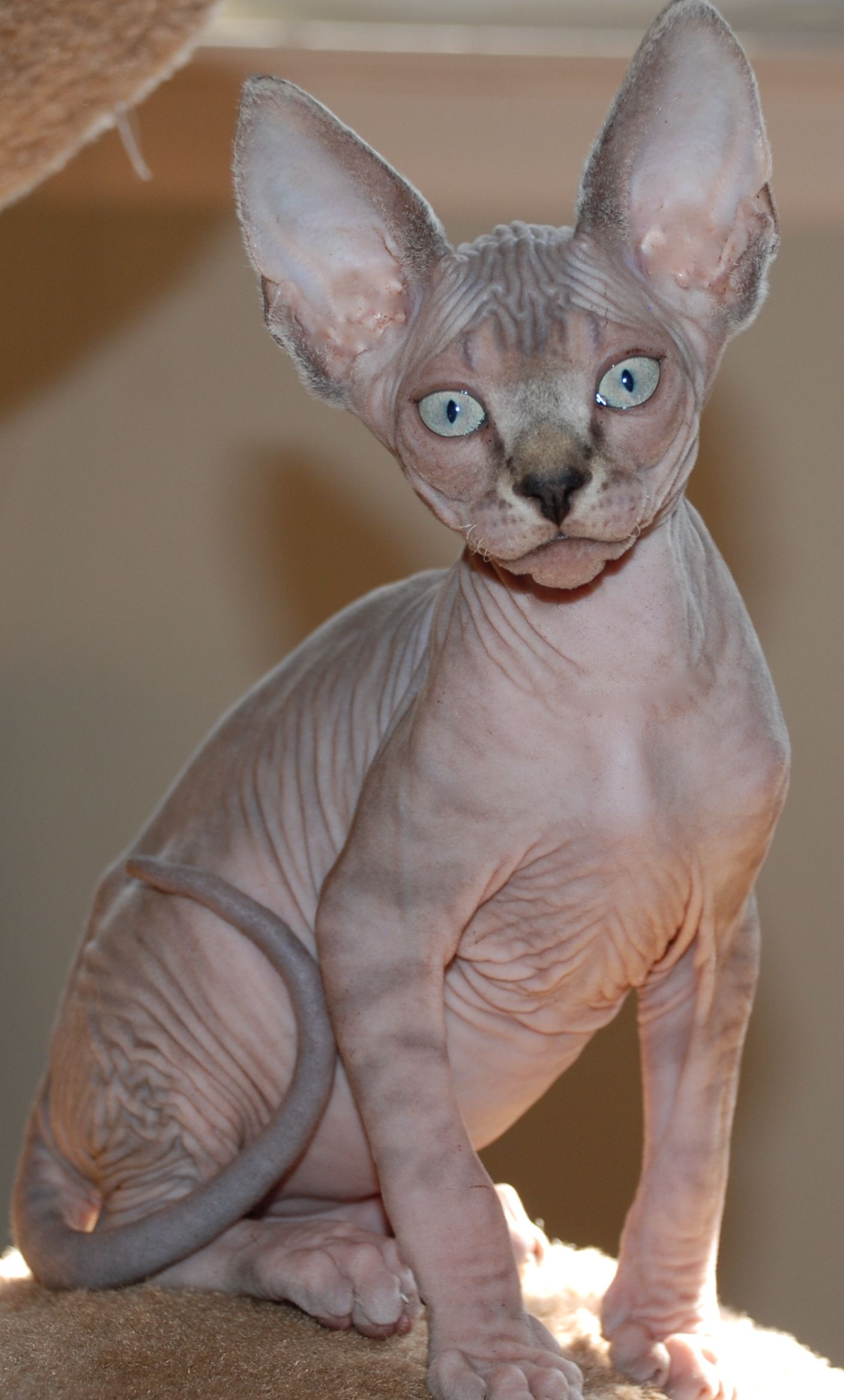 Blue Mink Tabby Kitten No Coat Sphynx Tabby Kitten Cats Sphynx Cat