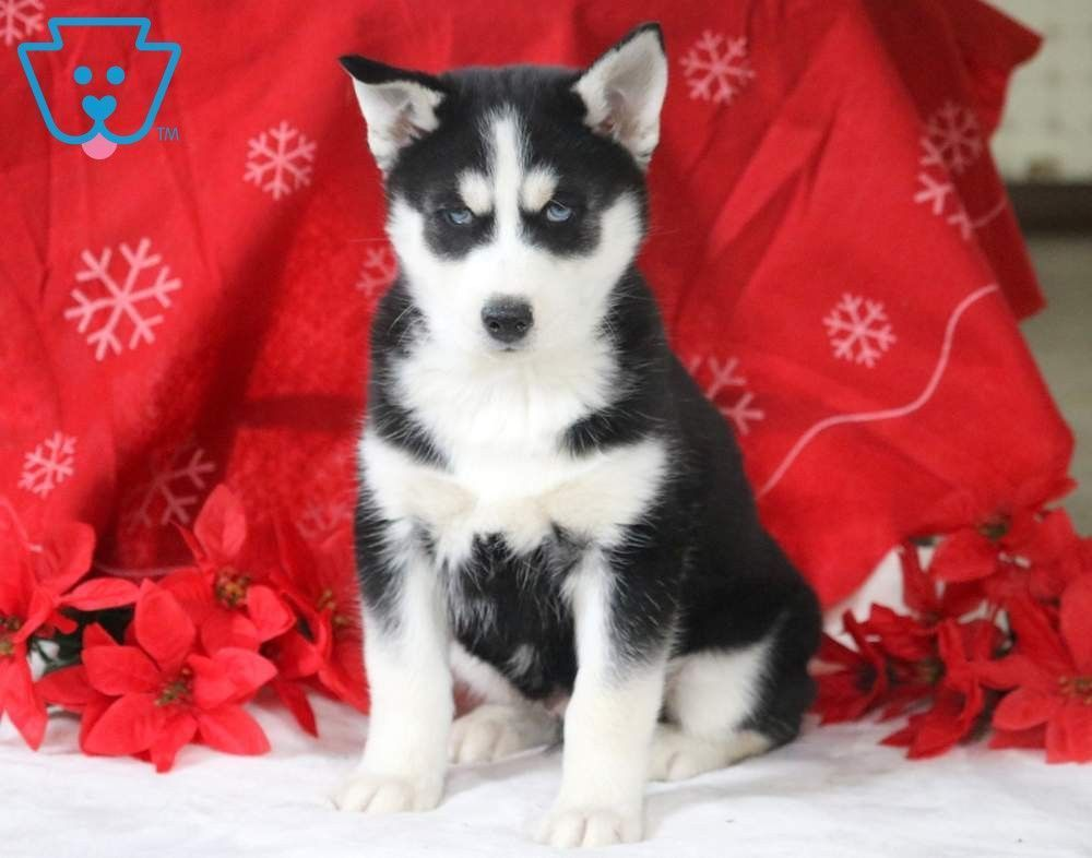 Winston Siberian Husky Puppy For Sale Keystone Puppies